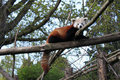 Cute Red Panda Stock Image
