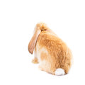 Cute red rabbit Stock Photography