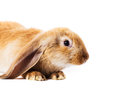 Cute red rabbit Stock Photo