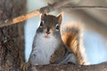 Cute Red squirrel, close up, perched, sitting up on branch in a Northern Ontario woods. Royalty Free Stock Photo