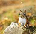 Cute red squirrel closeup Stock Photography