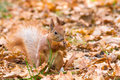 Cute red squirrel holding nut in feet Royalty Free Stock Photos