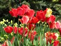 Cute red and yellow tulip flowers close up in a garden, Spring 2018 Royalty Free Stock Photo