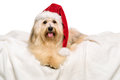 Cute reddish christmas havanese dog on a white blanket bichon in santa hat is lying isolated background Royalty Free Stock Image