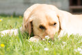Cute retriever dog on lawn Royalty Free Stock Photo
