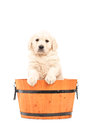 Cute retriever puppy dog standing in a barrel Royalty Free Stock Photo