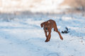 Cute Rhodesian Ridgeback dog on winter background Royalty Free Stock Photo