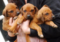 Cute rhodesian ridgeback puppies three little purebred being held together in the hands of the breeder Royalty Free Stock Photos
