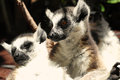 Cute ring tailed lemurs dark background Royalty Free Stock Photos