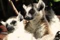 Cute ring tailed lemurs dark background Royalty Free Stock Photos