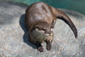 Cute river otter a sitting on top of a rock Stock Photos