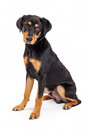 Cute rottweiler crossbreed puppy dog sitting a eight month old and labrador retriever mixed breed on a white background Stock Photography