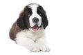 Cute Saint Bernard Purebred Puppy Royalty Free Stock Photo