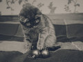 Cute Scottish cat is playing with christmas balls.Checkered plaid.Black and white Royalty Free Stock Photo