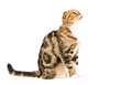 Cute scottish fold cat sitting looking up Stock Images