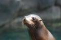 Really cute sea lion face adorable of a Stock Photo