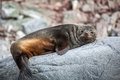 Cute sea lion relaxing on a rock in antarctica Royalty Free Stock Image