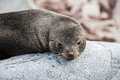 Cute sea lion relaxing on a rock in antarctica close up Royalty Free Stock Images