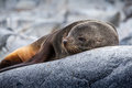 Cute sea lion relaxing on a rock in antarctica close up Stock Photo