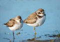 Cute semipalmated plovers jamaica bay wildlife refuge lovely pair of standing in the waters of queens new york both birds are Royalty Free Stock Photo