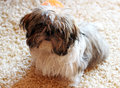 Cute shih tzu dog portrait of Stock Image
