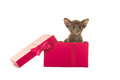 Cute siamese baby cat in a pink gift box Royalty Free Stock Photo