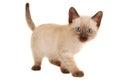 Cute Siamese Kitten on White Royalty Free Stock Photo