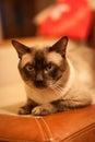 Cute siamese thai cat Royalty Free Stock Photo