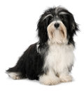 Cute sitting Bichon Havanese puppy dog Stock Photos