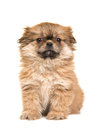 Cute sitting fluffy tibetan spaniel puppy facing the camera isolated on a white background