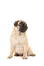 Cute sitting young pug dog looking up