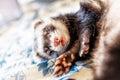 Cute sleeping ferret Royalty Free Stock Photo