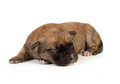 Cute sleeping little spotted havanese puppy dog Stock Photo