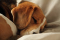 Cute sleeping puppy dog beagle Royalty Free Stock Image