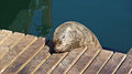 Cute sleeping sea lion on gangplank in cape town Stock Image