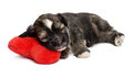 Cute sleeping Valentine Havanese puppy dog on a red heart Stock Photo