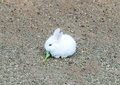 Cute Small Baby Easter Bunny (White Rabbit) Sit and Eat Vegetable Royalty Free Stock Photo