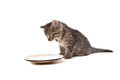 Cute small kitten screaming on milk plate Royalty Free Stock Photo