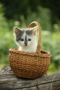 Cute small white and gray kitten resting in the basket Royalty Free Stock Photo