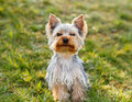 Cute small yorkshire terrier is sitting on a green lawn outdoor no people Stock Image
