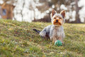 Cute small yorkshire terrier is sitting on a green lawn outdoor no people Royalty Free Stock Photos