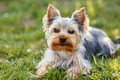 Cute small yorkshire terrier is sitting on a green lawn outdoor no people Royalty Free Stock Photography