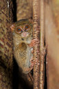 Cute smiling tarsier smallest primate tangkoko sulawesi indonesia Royalty Free Stock Images