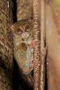 Tarsier, the smallest primate, Tangkoko, Sulawesi, Indonesia