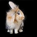 Cute soft beige brown lop rabbit with soft long fur on black background Stock Photos