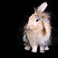 Cute soft beige brown lop rabbit with soft long fur on black background Royalty Free Stock Photography