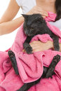 Cute soggy cat after bath woman holding a drying off with a towel bathing pets hygiene Stock Photo