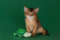 Cute somali kitten on the green background with toy Stock Image