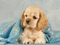 Cute spaniel puppy Stock Photos