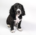 Cute sprocker spaniel puppy looking worried on white background nervous shy Stock Image